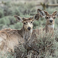 Mule Deer Visitors by Yeates Photography