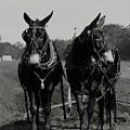 Mule Team 5411 H_2bw by Steven Ward