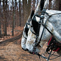 Mules At Sugar Camp by David Arment
