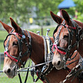 Mules Day 2016 by Dwight Cook