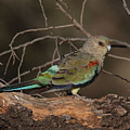 Mulga Parrot Female A by Tony Brown