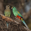 Mulga Parrot Pair by Tony Brown