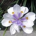 Multi-petal White Iris Flower. Very Unusual, Rare Form by Sofia Metal Queen