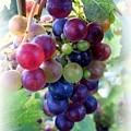 Multicolor Grapes by Carol Sweetwood