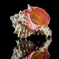 Murex Seashell by Anthony Sacco