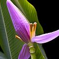 Musa Ornata Ornamental Banana Flower by Sharon Mau