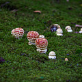 Muscaria Migration by Calazone's Flics