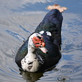 Muscovy 16-07 by Maria Urso