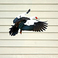 Muscovy Duck In Flight Passing A Building by Roy Williams