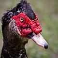 Muscovy Duck by Roger Wedegis