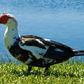 Muscovy Ducks Are Butt-ugly by Allan  Hughes