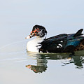 Muscovy On Ice by Teresa Blanton