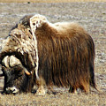Musk Ox by Anthony Jones