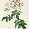 Musk Rose by Pierre Joseph Redoute