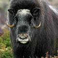 Muskox In The Fall by Arterra Picture Library