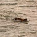 Muskrat In Lake by Linda Kerkau