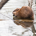 Muskrat Spring Meal by Edward Peterson
