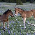 Mustang Foals by Jean-Louis Klein & Marie-Luce Hubert