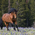 Mustang Stallion And Lupines by Jean-Louis Klein & Marie-Luce Hubert