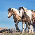 Mustang Twin Stallions by Rob Daugherty