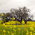 Mustard And Oaks by Leslie Hunziker