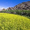 Mustard Field, Hemis, 2007 by Hitendra SINKAR