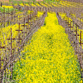 Mustard Flowers In Napa Valley by Robin Zygelman