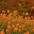 Mustard Garden by Stephen Edwards