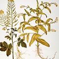 Mustard Plant, 1613 by Granger