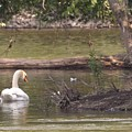 Mute Swan         St. Joe River          June         Indiana by Rory Cubel