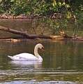 Mute Swan     Image 2      Spring        St. Joe River          Indiana by Rory Cubel