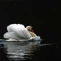 Mute Swan 3 by Chris Day