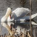 Mute Swan - 3 by David Bearden