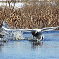 Mute Swan Chasing Canada Goose by Debbie Oppermann