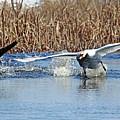Mute Swan Chasing Canada Goose I by Debbie Oppermann