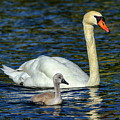 Mute Swan, Cygnus Olor, Mother And Baby by Elenarts - Elena Duvernay photo