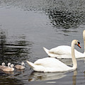 Mute Swan Family Day Two by Steve  Gass