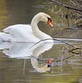 Mute Swan Glide II by Karen Jorstad