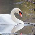 Mute Swan I by Karen Jorstad