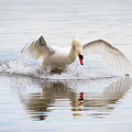 Mute Swan Landing I by Karen Jorstad