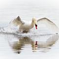 Mute Swan Landing II by Karen Jorstad