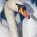 Mute Swan Portrait by Bruce Frye
