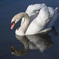 Mute Swan Reflected by Bruce Frye