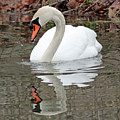 Mute Swan Reflecting by Steve Gass