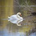 Mute Swan Reflection by Karen Jorstad