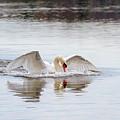 Mute Swan Swim by Karen Jorstad
