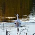 Mute Swan Swimming Away by Andrea Freeman