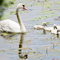 Mute Swan With Cygnets by Michael Barry