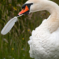 Mute Swan With Feather by Eyeshine Photography