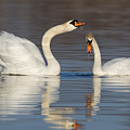 Mute Swans Drinking by Jerry Fornarotto